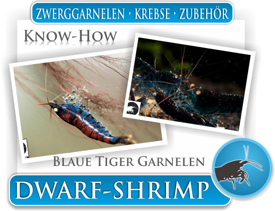 Dwarf Shrimp - Wissen - Know How - Blaue Tiger Garnelen