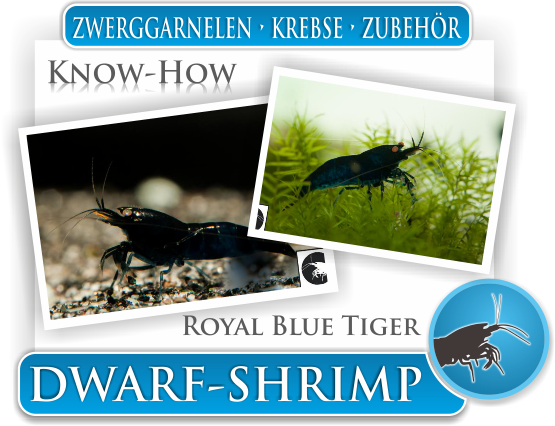 Dwarf Shrimp Know How - Roayal Blue Tiger