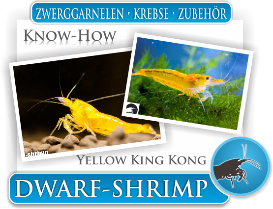 Dwarf Shrimp Know How - Yellow King Kong