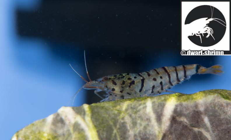 Dwarf Shrimp Know How - Galaxy Tiger Garnele