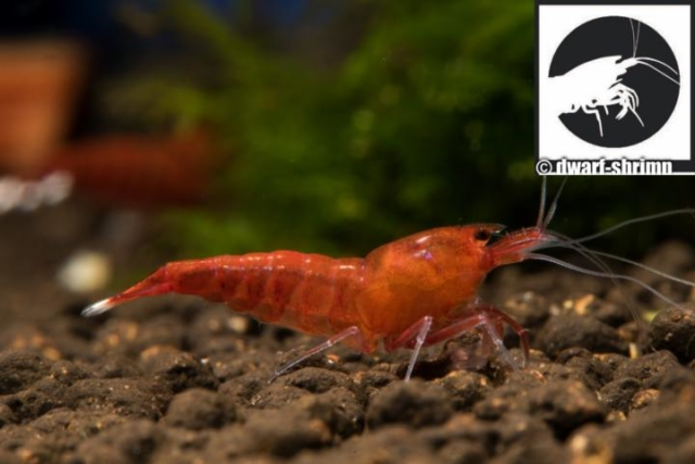 Dwarf-Shrimp-Zwerggarnele-Red -Diamond-Bild3
