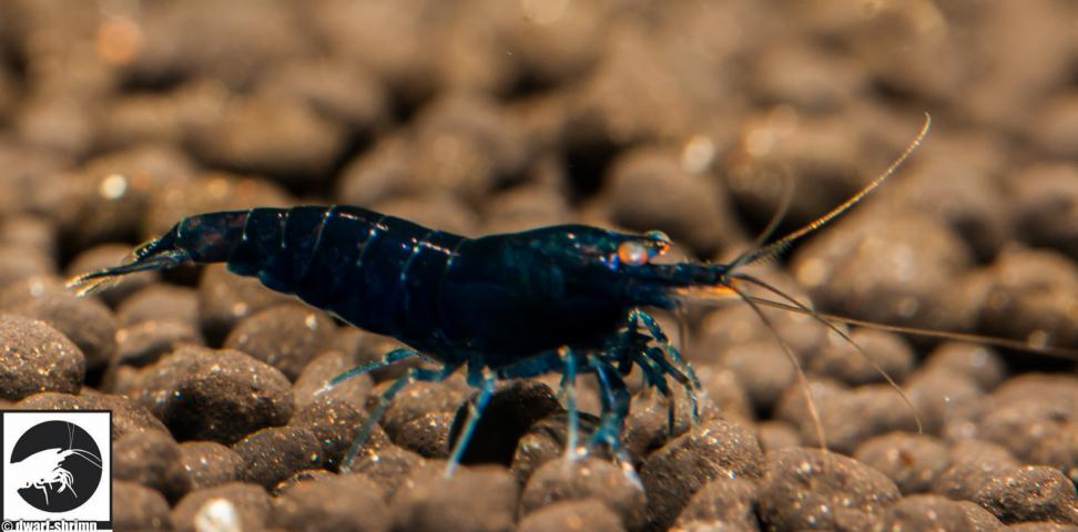 Dwarf Shrimp Know How - Roayl Blue Tiger Garnele