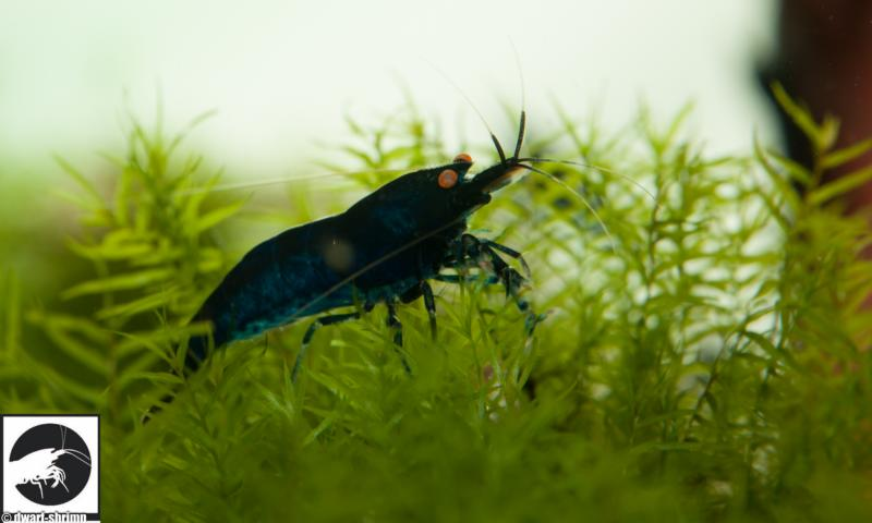 Dwarf Shrimp Know How - Royal Blue Tigergarnele