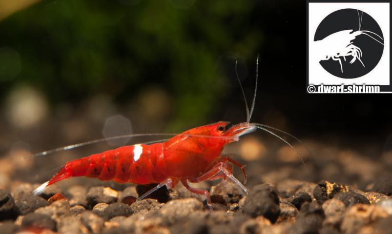 Dwarf-Shrimp-Zwerggarnele-red-ruby-garnele