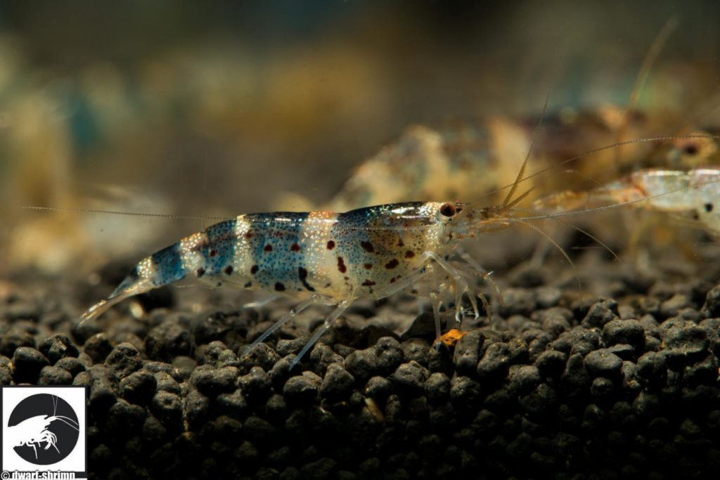 Dwarf Shrimp Know How - Zwerggarnele China Princess