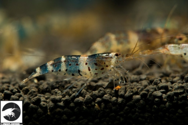 Dwarf-Shrimp-Zwerggarnelen-Caridina-sp-china-princess-Bild1