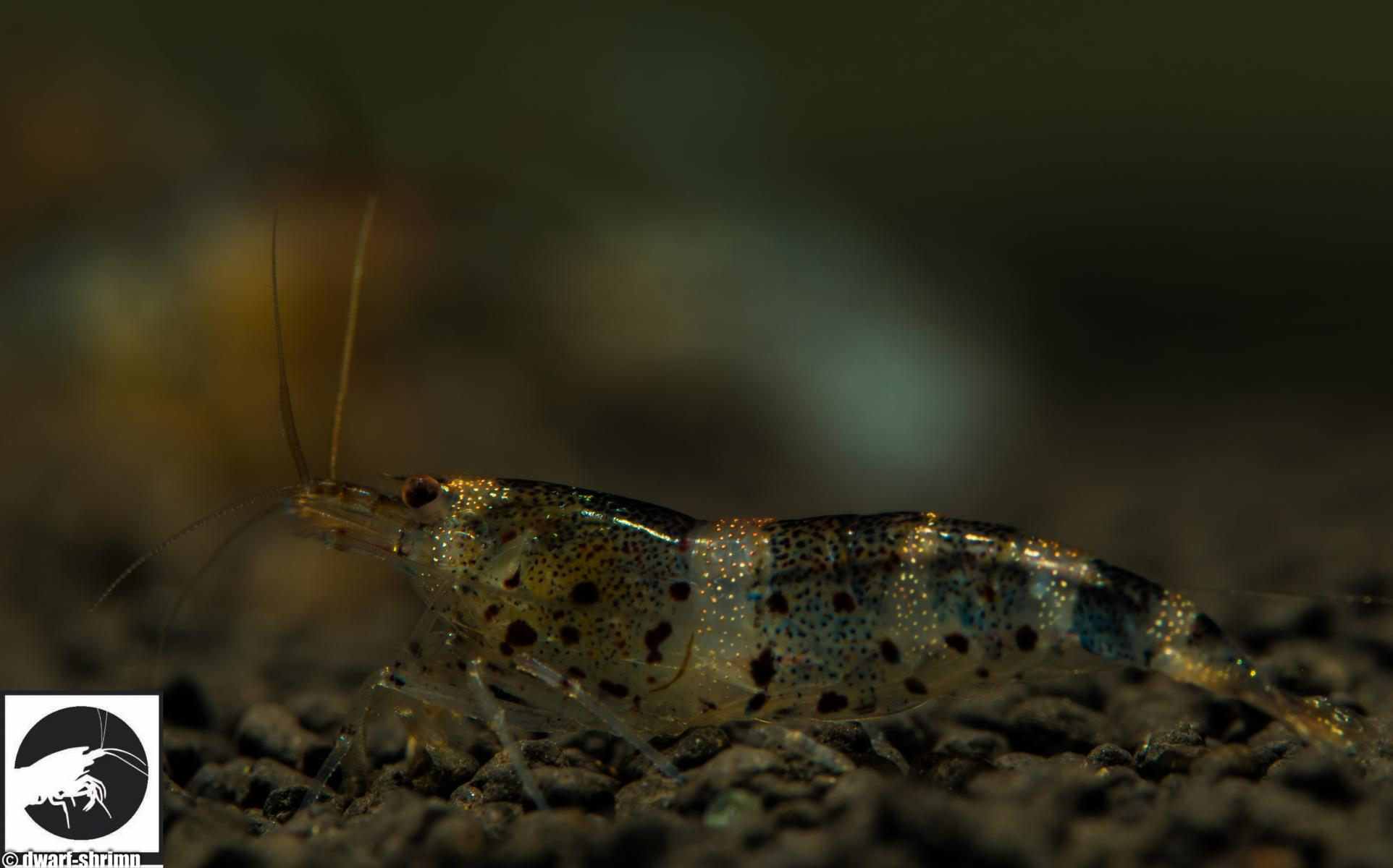Dwarf-Shrimp-Zwerggarnelen-Caridina-sp-china-princess-Bild6