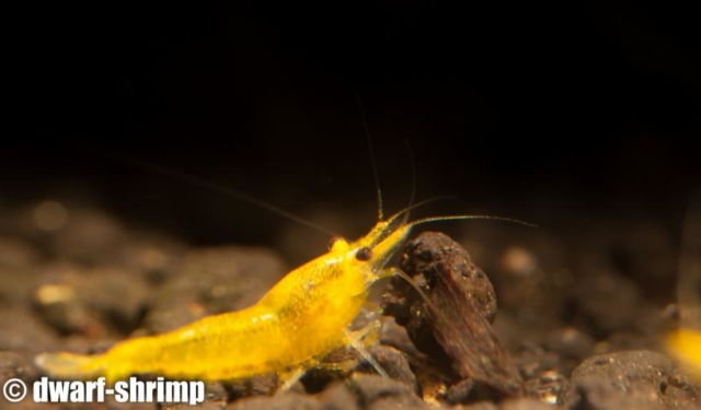 Dwarf-Shrimp-Zwerggarnelen-Yellow-King-Kong-Bild3