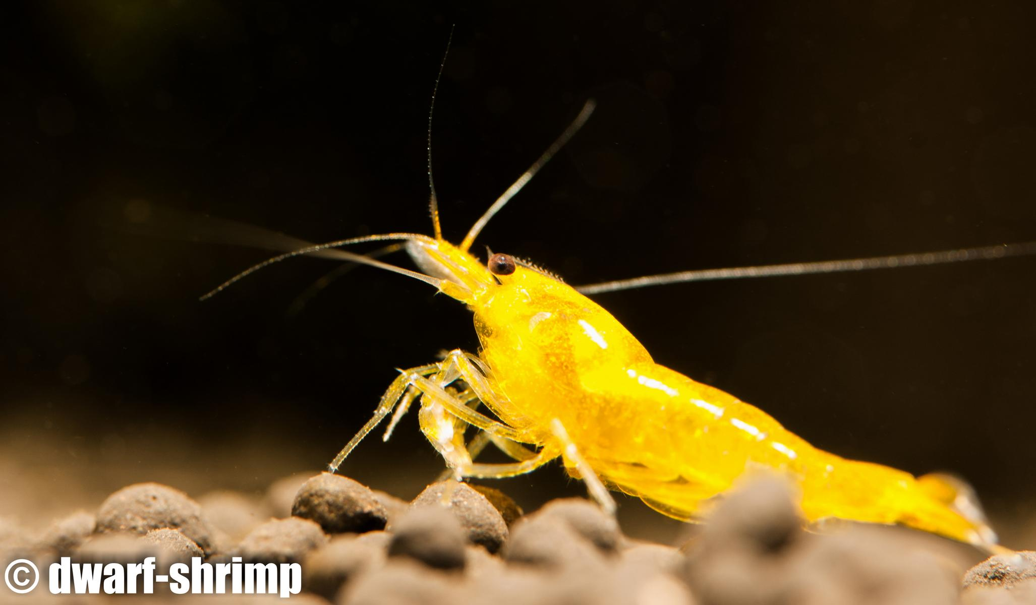 Dwarf-Shrimp-Zwerggarnelen-Yellow-King-Kong-Bild5