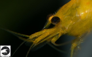 Dwarf-Shrimp-Zwerggarnelen-Yellow-King-Kong-Bild6